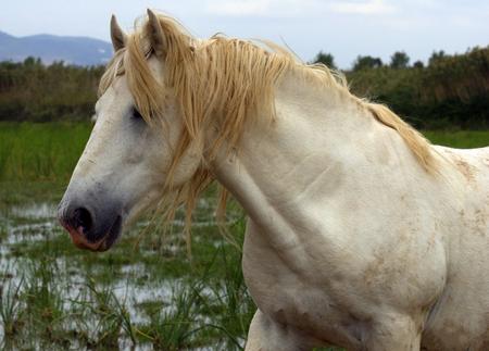 camargue: nice horse wild in camargue french Region