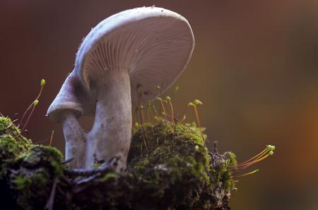 lactarius: mushroom,Lactarius sp Stock Photo