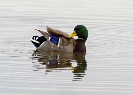 Male mallard duck (Anas platyrhynchus)