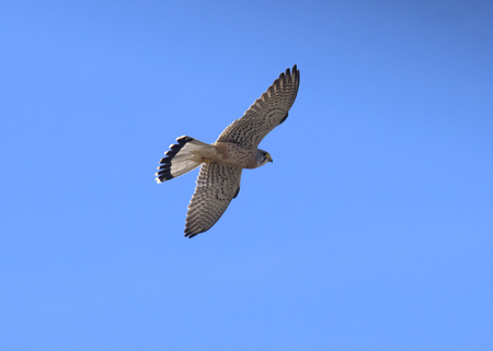 Falcon Common Kestrel  Falco tinnunculus