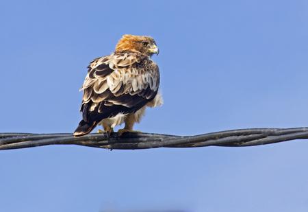 Booted eagle.Aquila pennata