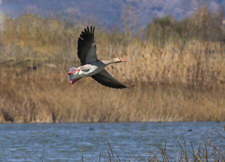 fabalis: Wild goose flying ,Anser anser