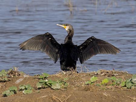 carbo: Cormorant.Phalacrocorax carbo Stock Photo