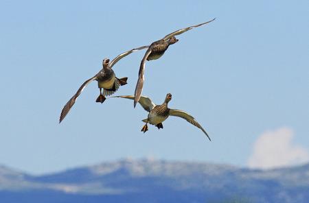 Flock of gadwall in Flight