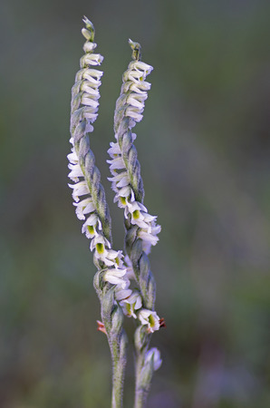 Autumn ladys-tresses (Spiranthes spiralis) wild orchid
