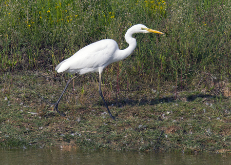 Great Egret (Ardea alba) is a species of bird in the Ardeidae family