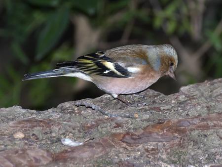 Chaffinch male,Fringilla coelebs