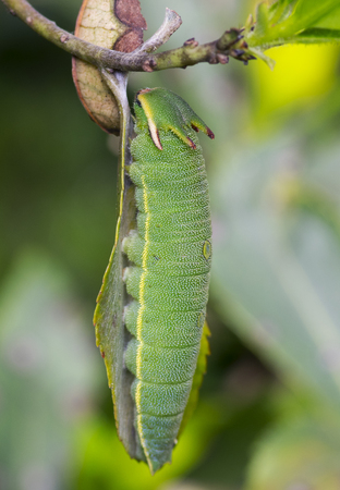 Arbutus Unedo caterpillar, Foxy Emperor (Charaxes jasius).