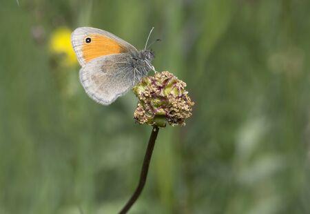 The Small Heath, Coenonympha pamphilus