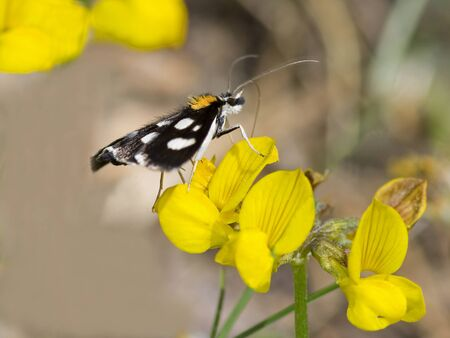 White-spotted Sable Moth (Anania funebris)