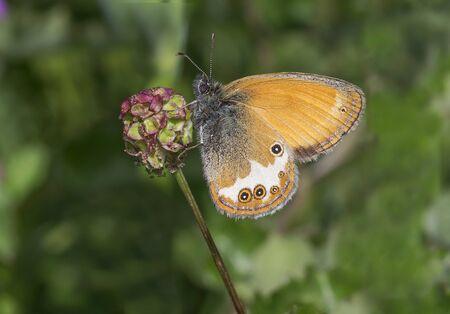 Coenonympha arcania or Pearly Heath butterfly Zdjęcie Seryjne
