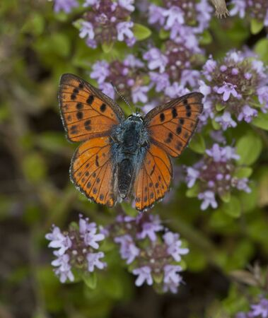 The purple-shot copper (Lycaena alciphron)  Zdjęcie Seryjne
