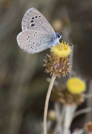 Butterfly black-eyed blue, Glaucopsyche melanops.Catalonia,Spain.