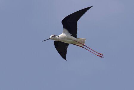 Ð'lack-winged stilt (Himantopus himantopus) in flight