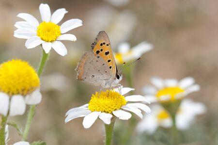 Butterfly - Small Copper (Lycaena phlaeas) Reklamní fotografie