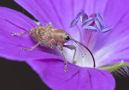 A female acorn weevil (Curculio glandium)