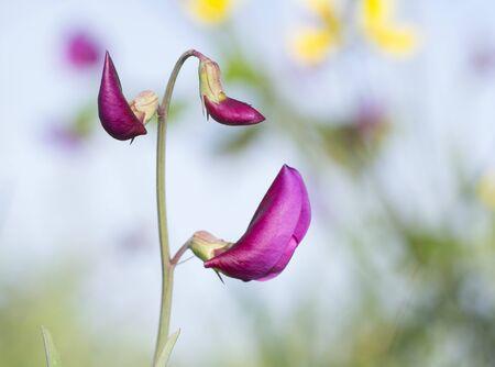 Lathyrus tingitanus, Tangier pea flowers in Catalonia, Spain