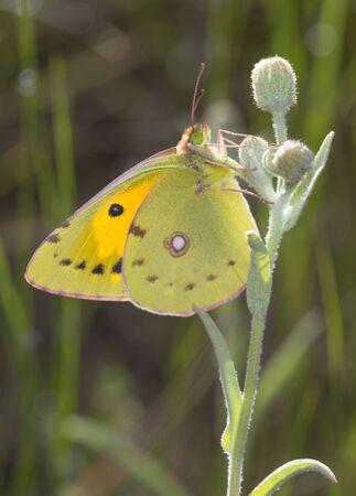 Dark Clouded Yellow Butterfly or Colias crocea Reklamní fotografie