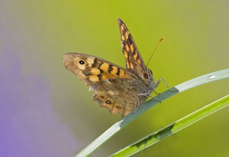 A Speckled Wood (Pararge aegeria) butterfly resting on a leaf. Reklamní fotografie