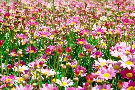 afield: pink flowers on a sunny meadow Stock Photo