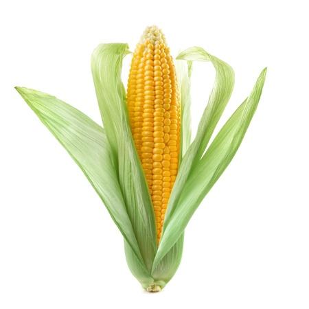 mais: Ein Ohr des Mais auf einem wei�en Hintergrund