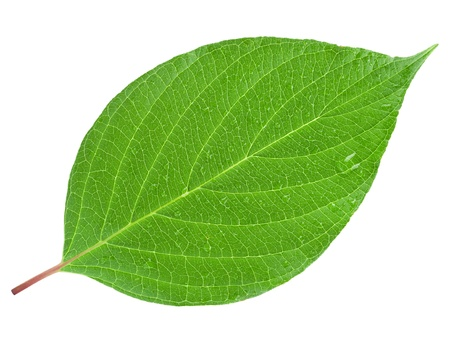 green leaf: green leaf on a white