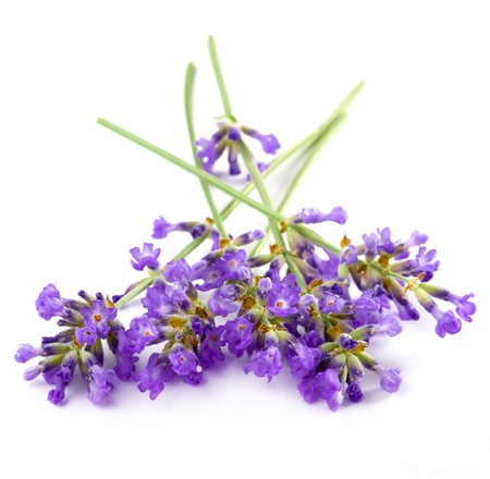 lavender flower isolated on white  photo