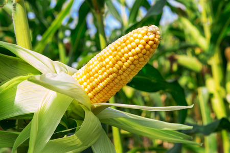 Een oor van maïs veld