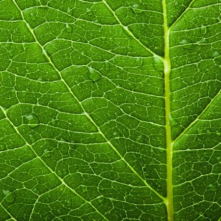 healthy growth: Green leaf texture. Macro   Stock Photo