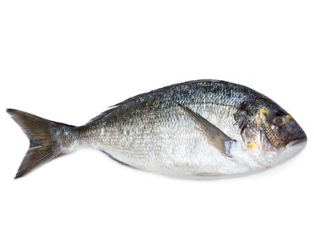 sparus: Fresh sea fish gilt-head bream isolated on white