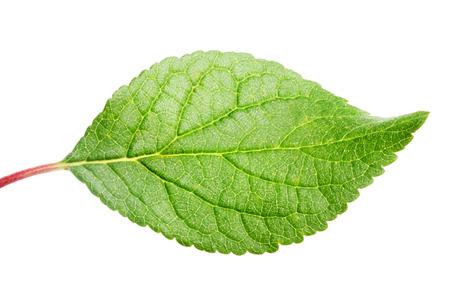 화이트 절연 녹색 사과 잎