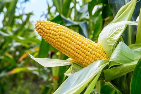 espiga de trigo: Un o�do del campo de ma�z