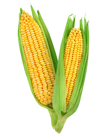 espiga de trigo: Ma�z aislado en un fondo blanco