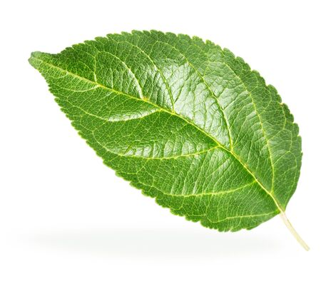 pear tree: Green apple leaf