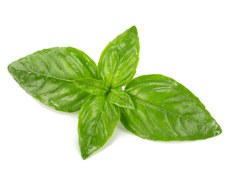 basil herb: basil leaves isolated