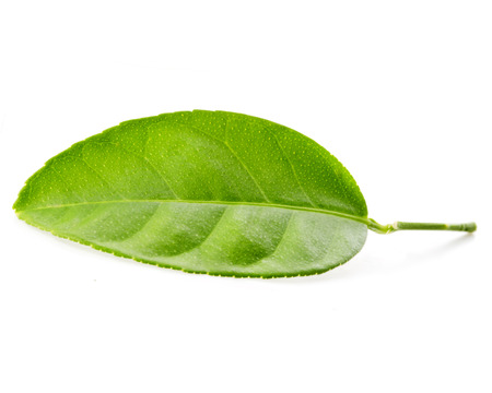 Citrus leaf isolated