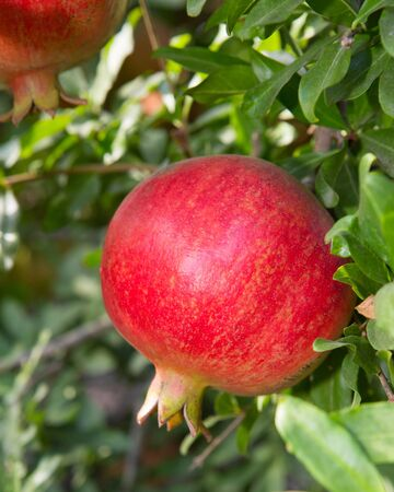 lambent: Pomegranate tree with ripe fruits Stock Photo