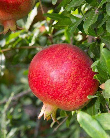 lambent: Pomegranate tree with ripe fruits Stock Photo