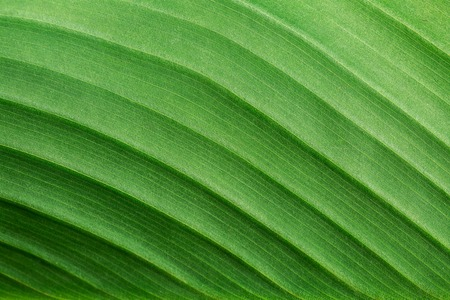 ecological environment: Macro of fresh green leaf as background