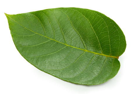 Walnut leaf isolated on white Banco de Imagens