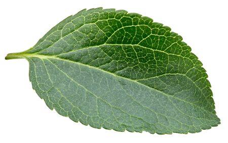 Plum leaves isolated Standard-Bild - 128009762