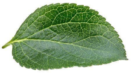 Plum leaf isolated on white Standard-Bild - 128178588