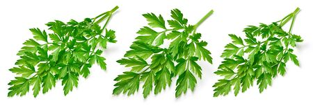 Parsley collection. Fresh parsley isolated on white background. 스톡 콘텐츠