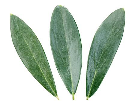 Olive green leaves isolated on white background. 스톡 콘텐츠