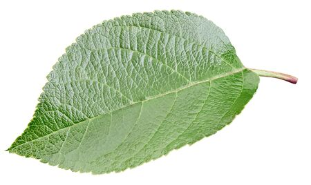 Apple leaf isolated on white background. 스톡 콘텐츠
