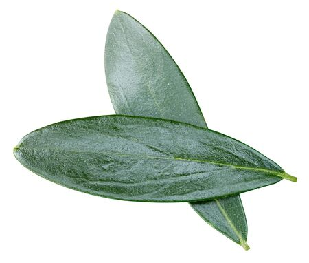 olive leaf isolated on white