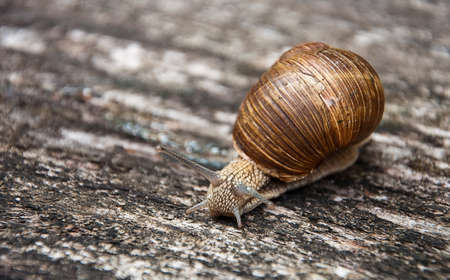 crawling snail  with brown shell on the wooden surface