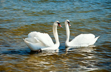 Couple of swans on the seafront of Baltic sea.