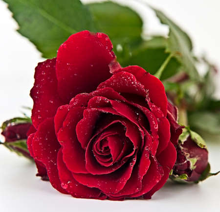 single object: Red Rose with raindrops on the leaves lying on the white background Stock Photo