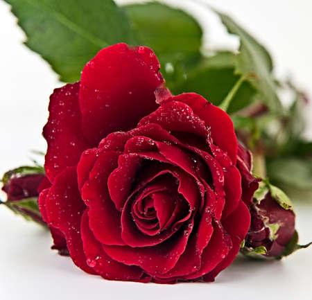Rosa roja con gotas de lluvia sobre las hojas que yacen en el fondo blanco Foto de archivo